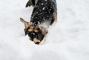 Adorable perro de raza mixta jugando en la nieve en el patio trasero foto