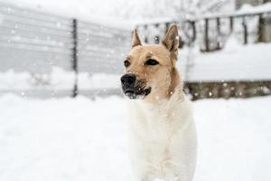 Hermoso perro de raza mixta jugando en la nieve. foto