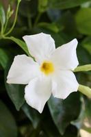 Mandevilla bella flower chilean jasmine family apocynaceae background photo