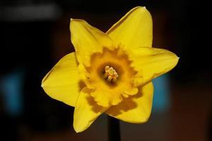 Flower macro background high quality narcissus family amaryllidaceae photo