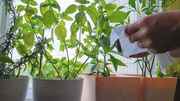Woman takes care of houseplants in pots. Home life, sustainable hobby. video