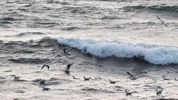 Seagulls are playing with big waves in slow motion at sunset time video