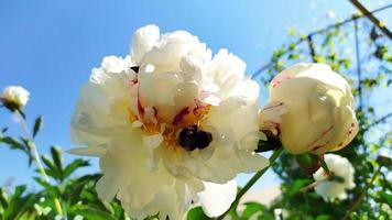 Beetles in a flower bud photo