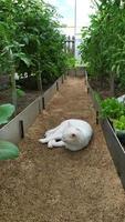 arbustos de tomate en un invernadero y un gato blanco duerme foto