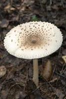 A beautiful poisonous mushroom grows in the forest photo