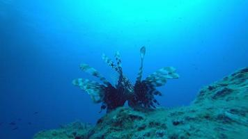 peixe-leão em close-up extremo com visão grande angular video