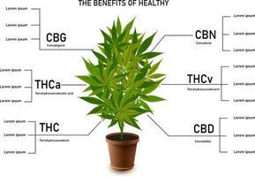 The benefits of healthy marijuana leaves cannabinoid 101 infographic vector