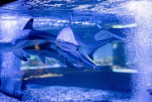 Underwater image of small sharks swimming in aquarium in oceanarium photo