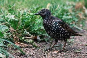Common starling bird on green grass photo