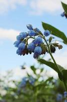 campanas de pequeñas flores azules con hojas verdes foto