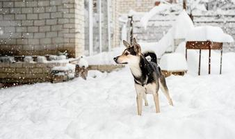 Hermoso perro de raza mixta jugando en la nieve en el patio trasero foto