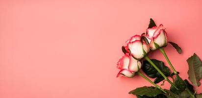 Pink roses on solid pink background photo