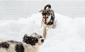 Adorables perros de raza mixta jugando en la nieve en el patio trasero foto