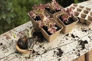 Close up transplanting process plants photo