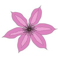 Beautiful clematis flower on white background. Vector Illustration