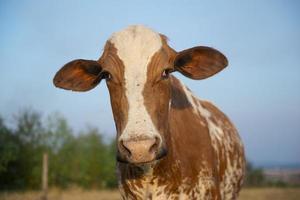 Cerca de la hermosa vaca holandesa manchada de marrón y blanco foto