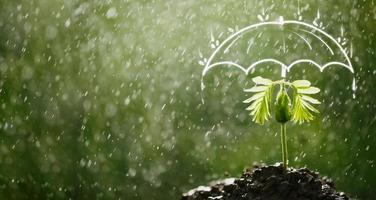 Umbrella protects the sapling from rain photo