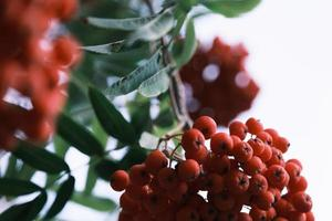 Red berries with green leaves photo