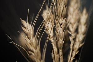 Wheat ears on black background photo
