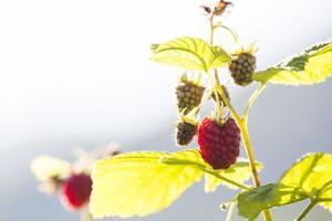 Raspberry. Raspberries. Growing Organic Berries photo