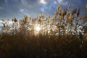 Reeds against the backdrop of a sunny sunset photo