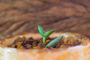 Hoja de yema de pequeña planta suculenta que crece sobre la grava de laterita foto
