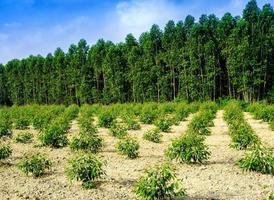 Hilera de árboles de eucalipto de crecimiento en la plantación foto