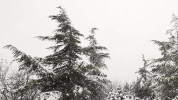 pinheiros e neve escamosa em câmera lenta video