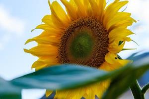 Sunflowers with green leaves against a blue sky photo
