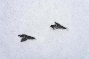 Bird footprint tracks snow photo