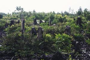 manglares que han sido cortados y quemados foto