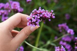 Mujer recogiendo flores violetas en una pradera foto