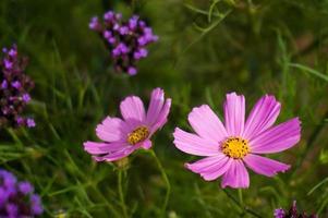 Beautiful nature Pinks flower on blurred background. photo