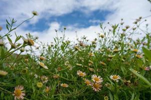 hermosas manzanillas frescas en la hierba foto