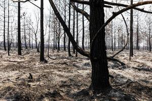 Burned woods by wildfire inside tropical rainforest. photo