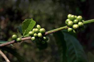 manojo de granos de cafe foto