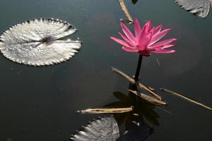 flor de loto con hojas flotantes foto