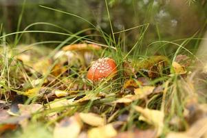 seta de otoño agárico de mosca amanita muscaria medicina alternativa foto