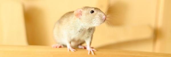 ratón de la rata del animal doméstico foto