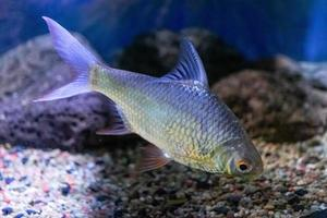 Aquarium fish on the background of artificial rocks and vegetation. photo