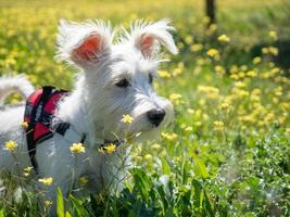 Puppy schnauzer  in white color and with red harness watch closely photo
