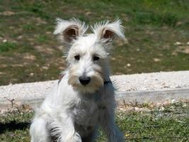 White Schnauzer puppy waits patiently for his owner to arrive. photo