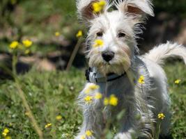 schnauzer puppy in white, looking carefully at the yellow flowers photo