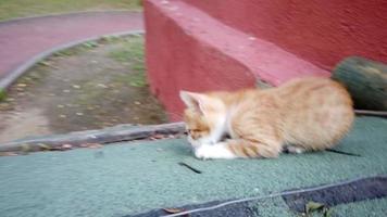 deux clips d'un chaton de couleur gingembre et blanc joue à l'extérieur video