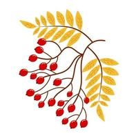 Rowan tree branch with yellow leaves and red berries. vector