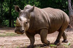 el rinoceronte es un gran mamífero foto