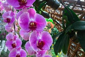 Flor de la orquídea en el jardín en invierno orquídea Phalaenopsis foto