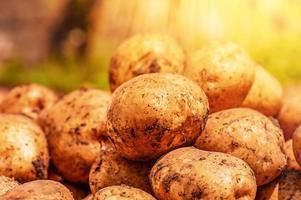 patatas en la cosecha del suelo. patatas en un fondo de campo foto