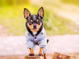 Retrato de perro chihuahua. perro negro con bronceado en la ropa foto