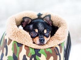 Portrait of a Chihuahua dog in a dog carrier in snowy weather photo